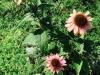 blog-echinacea (10)