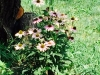 blog-echinacea (4)