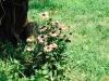 blog-echinacea (5)