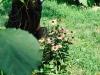 blog-echinacea (6)