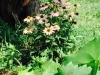 blog-echinacea (9)