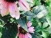 uvod_blog-echinacea (3)