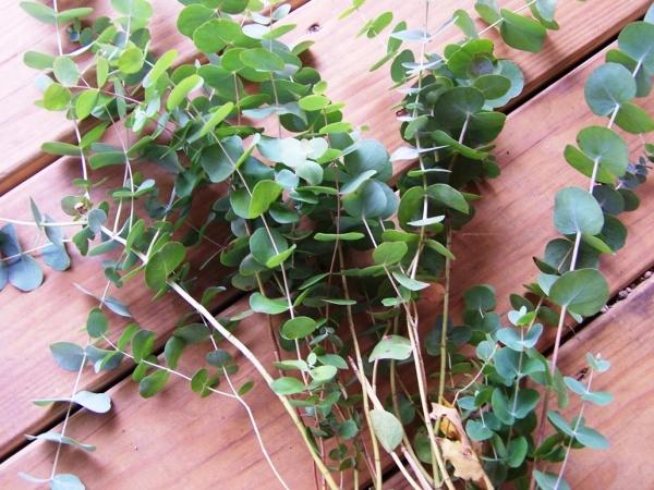 eucalyptus-001