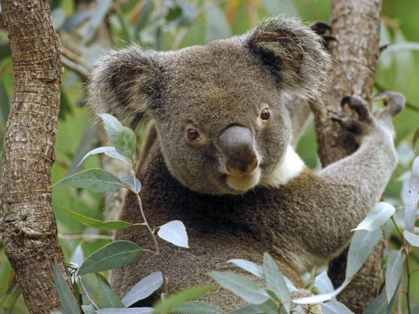 koala-a-eucalyptus-tree