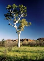 white-eucalyptus
