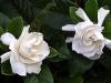 blog-gardenia2