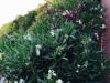 blog-oleander (1)