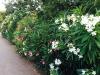 blog-oleander (2)