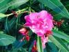 blog-oleander (3)