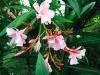 blog-oleander (4)