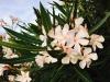 blog-oleander (6)
