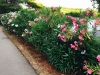 blog-oleander (7)