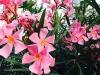 blog-oleander (8)