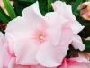 blog-oleander (9)