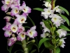 ilustrated-photo-dendrobium1