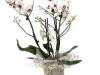 orchidea-biela