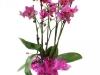 orchidea-magenta
