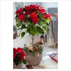 vianocna-ruza-002
