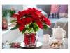 vianocna-ruza-001