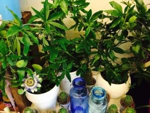 Passiflora Kristova koruna