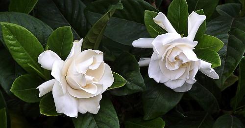 Gardénia ( gardenia jasminoides )