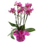 orchidea-v-crepniku
