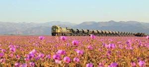 Rozkvitnutá Atacama