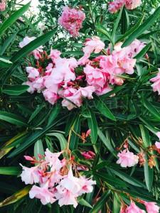 blog-oleander (5)
