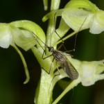 Močiarna orchidea a komár