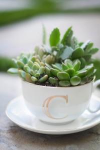 Sukulent v šálke čaju